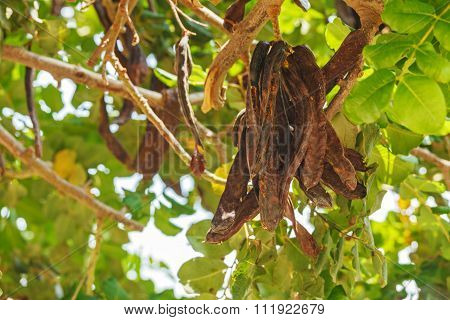 Carob Tree With Fresh Leaves