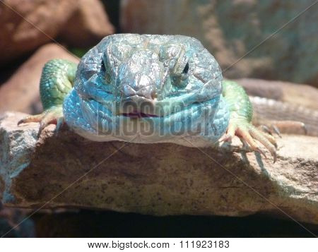 Lizard Head With Blue And Green Color