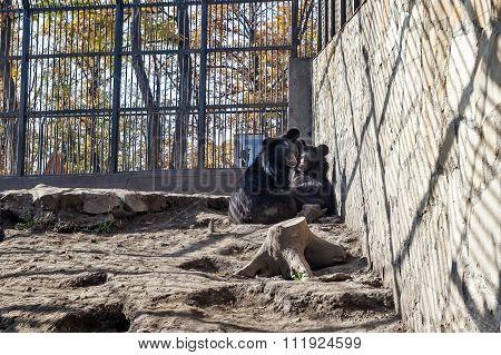 Tibetan Bears Behind Fece In Cage