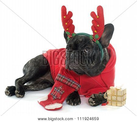 Dressed French Bulldog