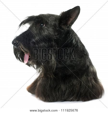 Old Scottish Terrier