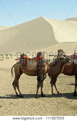 Camel in Mingsha Shan (Echo Sand Mountain) in Dunhuang China