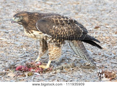 Cooper's Hawk, Accipiter cooperii, eating a Squirrel