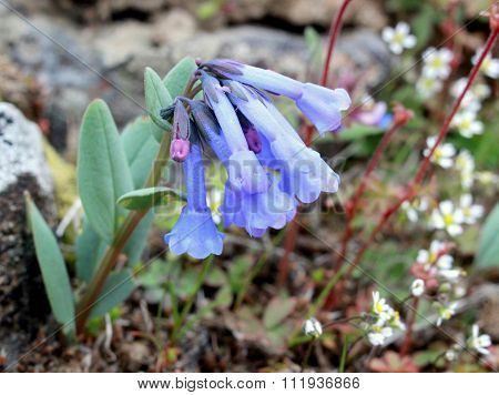 Trumpet Bluebells - Mertensia longiflora