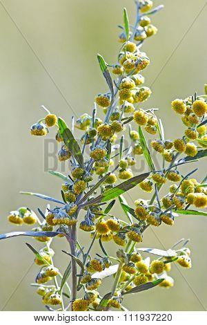 Wormwood ( Artemisia absinthium )