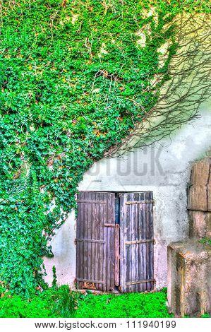 Old Door Between The Ivy In Hdr