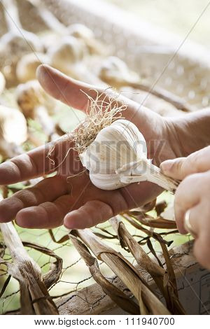 Freshly Picked Garlic