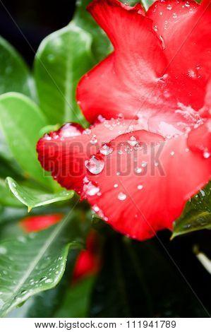 Red Azalea And Raindrops
