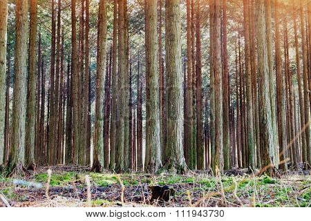 Pine Forest With Light Ray