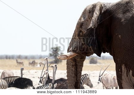 African Elephants Drinking At Waterhole