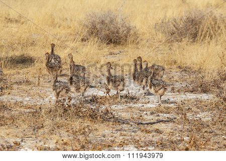 Family Of Ostrich Chickens