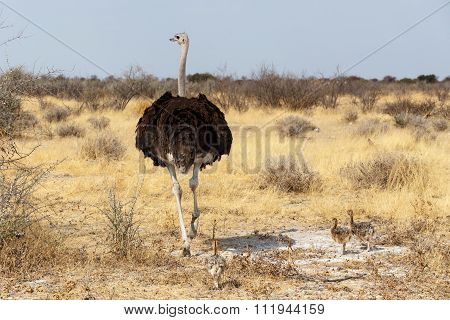 Family Of Ostrich With Chickens, Namibia