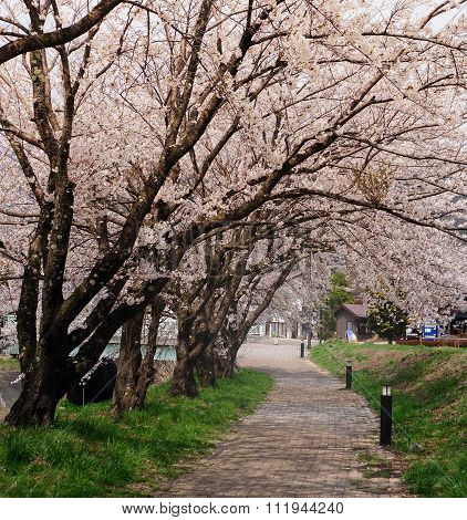 Cherry Blossom In The Japan