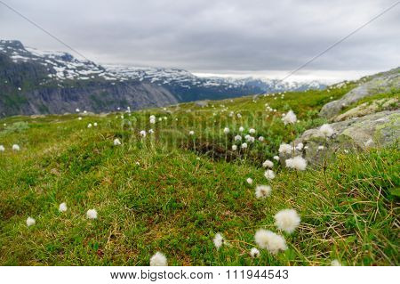 Greenery And Cotton-grass On Mountain Background