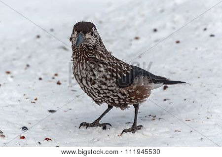 Nutcracker Bird Snow Cedar
