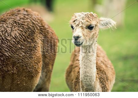 Baby Alpaca, also called Cria