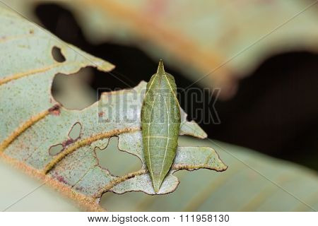 White Dragontail Pupa In Nature