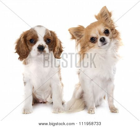 Puppy Cavalier King Charles And Chihuahua