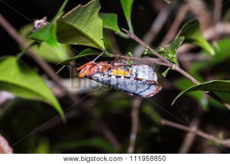 Aphaena Submaculata Lantern Bug