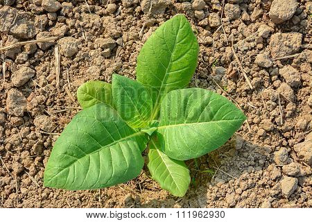 Green Tobacco Plant.