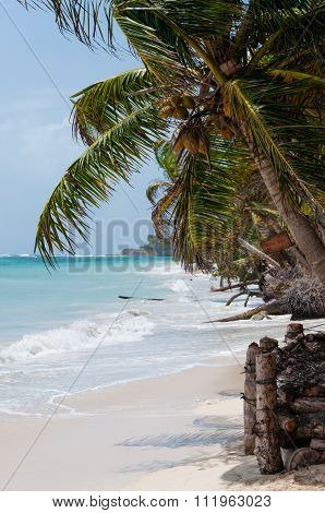 Closeup coconut Palm Tree in the wind on white sand beach coast under blue sky tropical caribbean Co