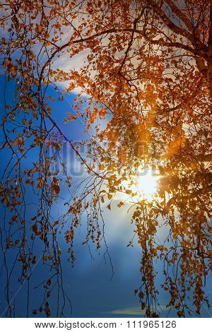 Autumn sunset through yellow leaves of birch