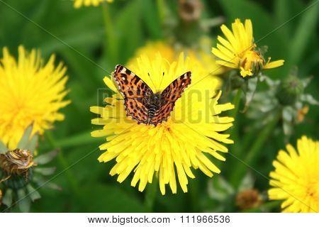 Butterfly Sitting On A Dandelion