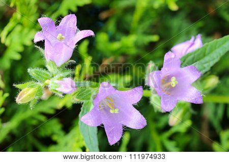 Closeup of purple Nettle-leaved Bellflower (Campanula trachelium) in the garden
