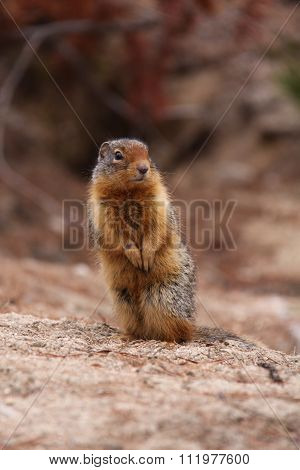Marmot stands and watches for danger