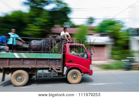 Buffalo on a pickup truck in motion driving along the street