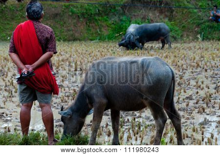 Man with a buffalo watching The Carabao Buffalos fighting in the muddy field