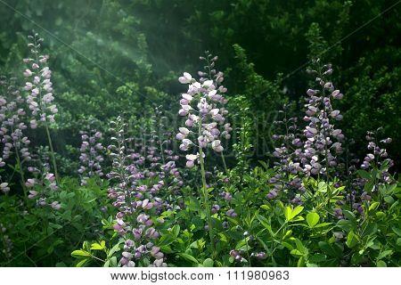 Snapdragon Flowers In Sunlight In Spring Garden