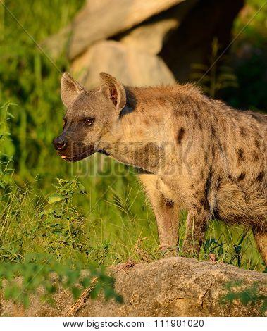 Spotted Hyaenas (hyaena Hyaena)