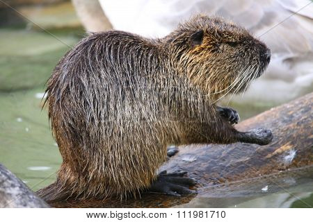 Nutria , water rat on the water, eats something.
