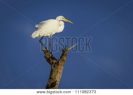 Great Egret Perched On A Dead Tree Branch