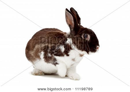 Cute Dappled Rabbit