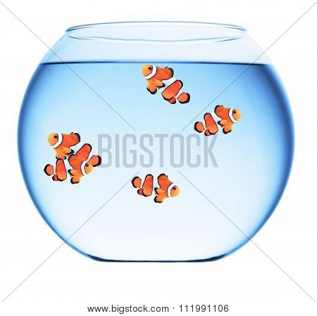 group of clown fish in a goldfish bowl