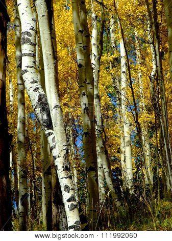 Aspen woods