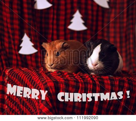 Christmas card with two guinea pigs