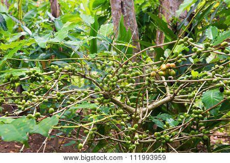 Coffee tree with ripe berries on farm Bali island