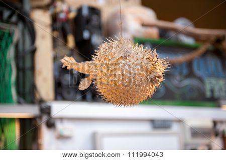 pufferfish display