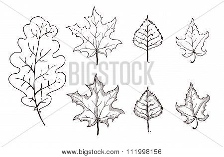 Set Of Leaves Outlines. Maple, Oak, Birch. Vector Illustration On Isolated Background.