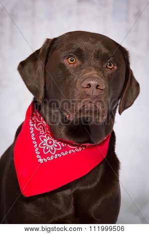 Serious Chocolate Lab Dog