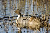 picture of pintail  - this is a photo of pintail ducks resting in a marsh - JPG