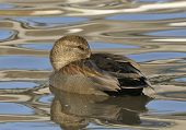 stock photo of gadwall  - Gadwall - Anas strepera