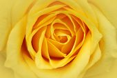 image of yellow rose  - soft yellow rose in a close - JPG