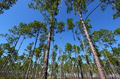 stock photo of saw-palmetto  - The beautiful Pine flat woods of central Florida - JPG
