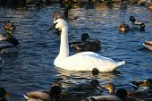 pic of trumpeter swan  - trumpeter swan cygnus buccinator in water in morning sun - JPG