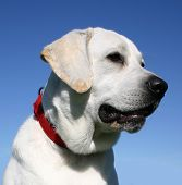 pic of happy dog  - portrait of purebreed labrador retriever happy dog in blue sky - JPG