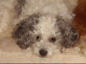 Poodle Patiently Waiting poster